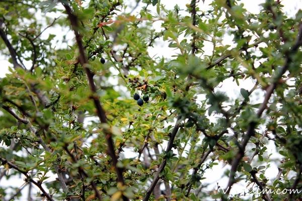 fruta calafate encontrada em ushuaia viajesim
