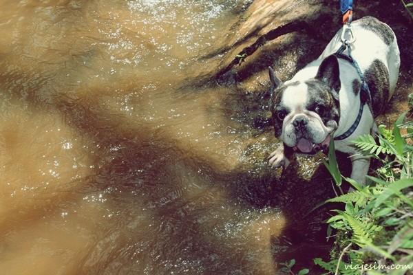 buldogue dentro de um rio em texto que dá dicas para viajar com cachorro de carro