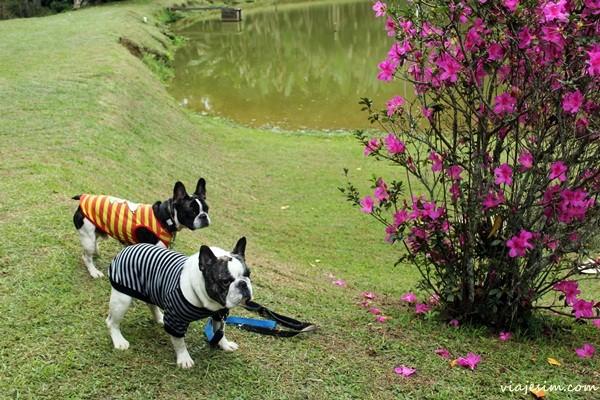 Dois buldogues franceses à beira de um lago em post que dá dicas para viajar com cachorro de carro